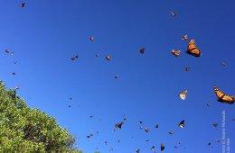 Mariposa Monarca. Piedra Herrada, Estado de México