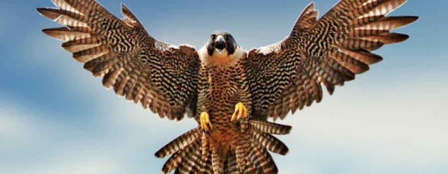 La Guía Máxima: Aves Depredadoras