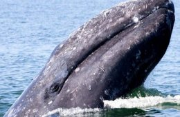 The Gray Whale, from Baja California Sur from Birth