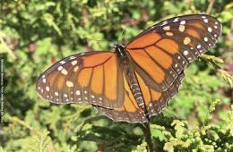 El Rosario, Santuario de la mariposa Monarca