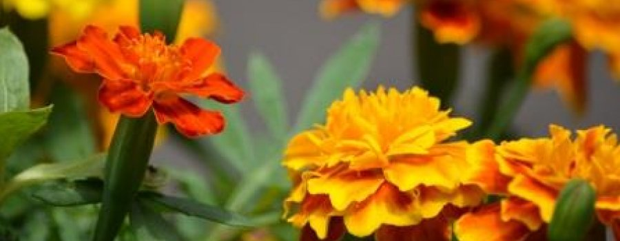 Mexican Marigold Flowers