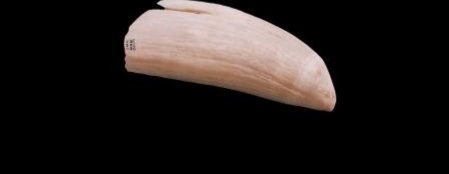 Pieza del mes Diente de Cachalote (Physeter macrocephalus)