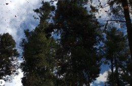 Silencio en los bosques de mariposas
