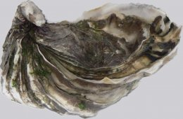 Piece of the Month: Fossilized Stone Oyster