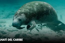El manatí del caribe