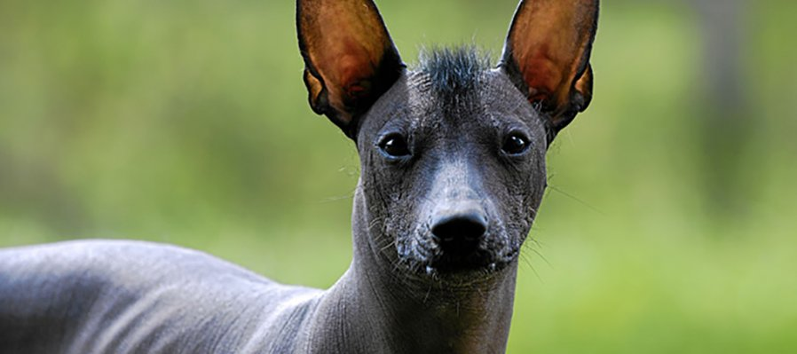 The Xoloitzcuintle and the Day of the Dead