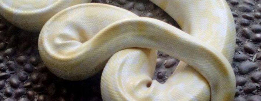 Exhibición de la pitón albina