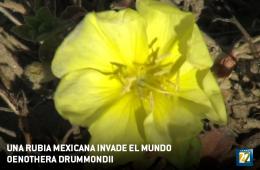 Una rubia mexicana invade el mundo Oenothera Drummondii