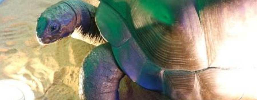 The Giant Tortoise, Galápagos Tortoise